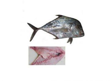 ماهی گیش مقوا