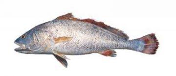 میش-ماهی